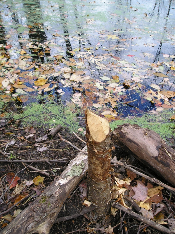 Tree Protection from Beaver Chewing - Beaver Solutions LLC