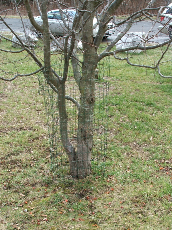 Tree Protection From Beaver Chewing Beaver Solutions Llc
