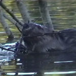 Learn Beaver Biology from BeaverSolutions.com