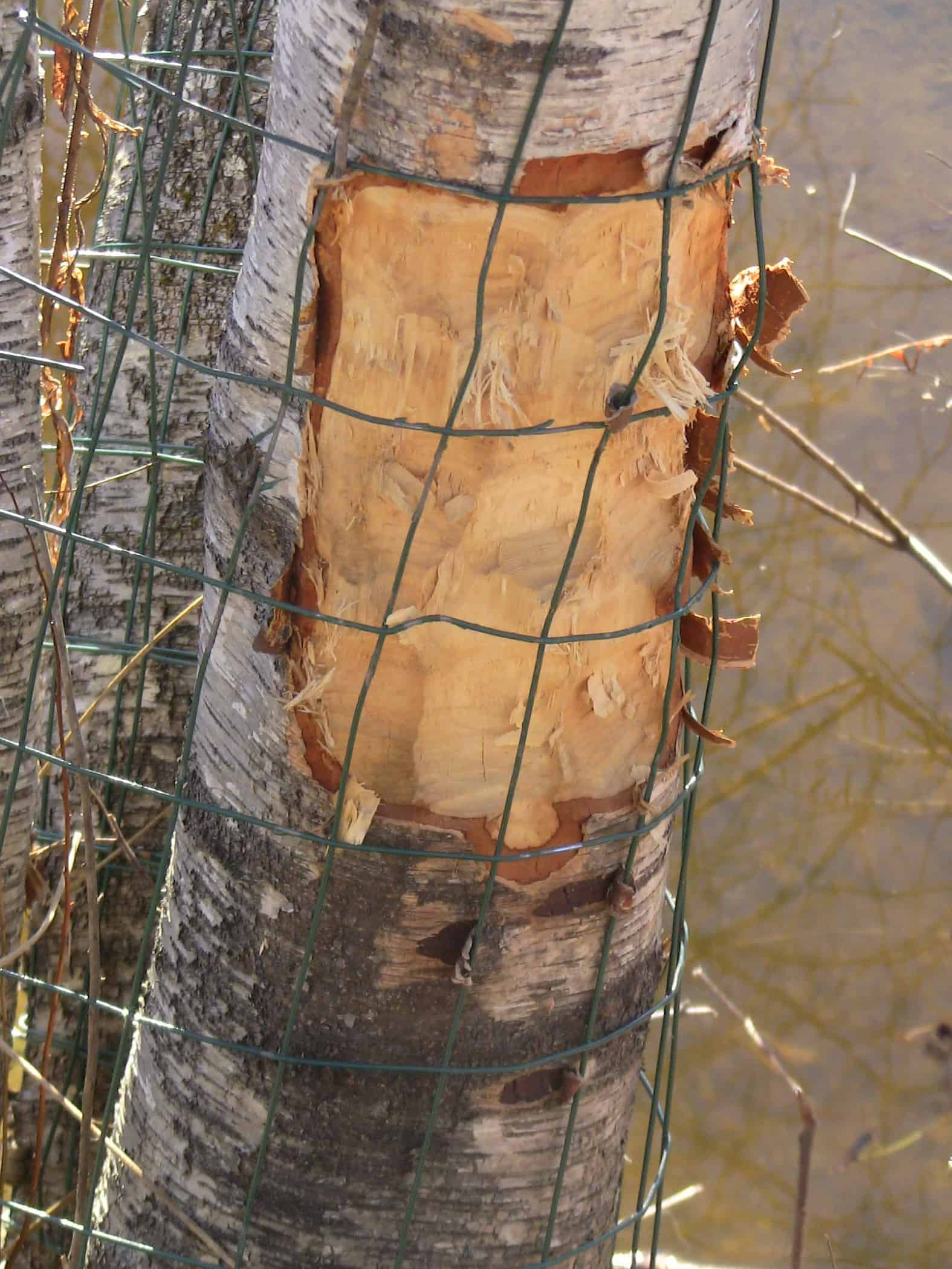 Beaver Facts Tree Protection Tips From Beaver Solutions