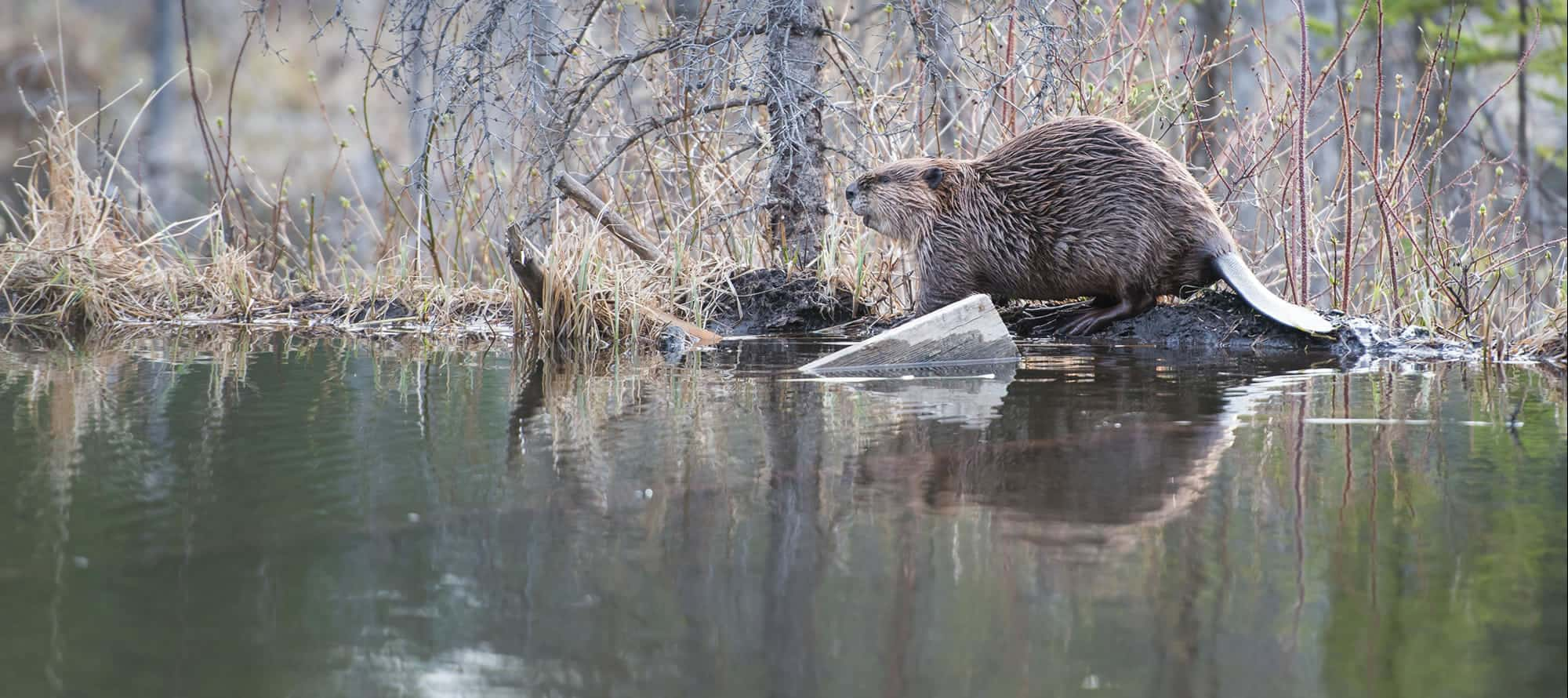 Beaver Solutions - flow management devices, beaver products, beaver problems, beaver removal, beaver control methods, beaver control devices, beaver pond leveler, how to get rid of beavers